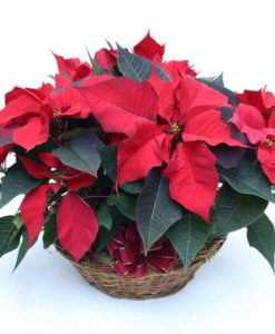 poinsettias_cesta