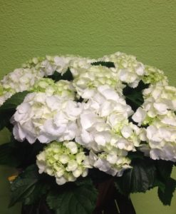 Cesta plantas hortensias - Yamil Floristas